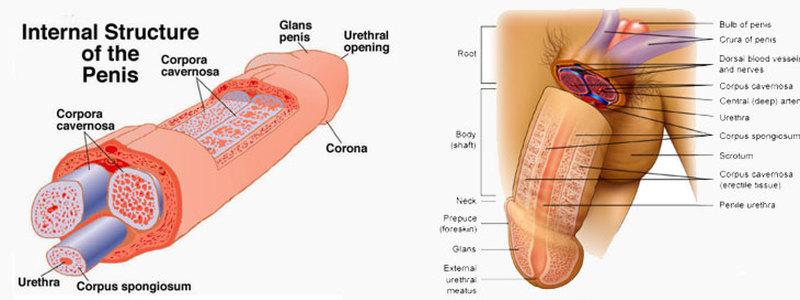 comprendre-la-fracture-du-penis